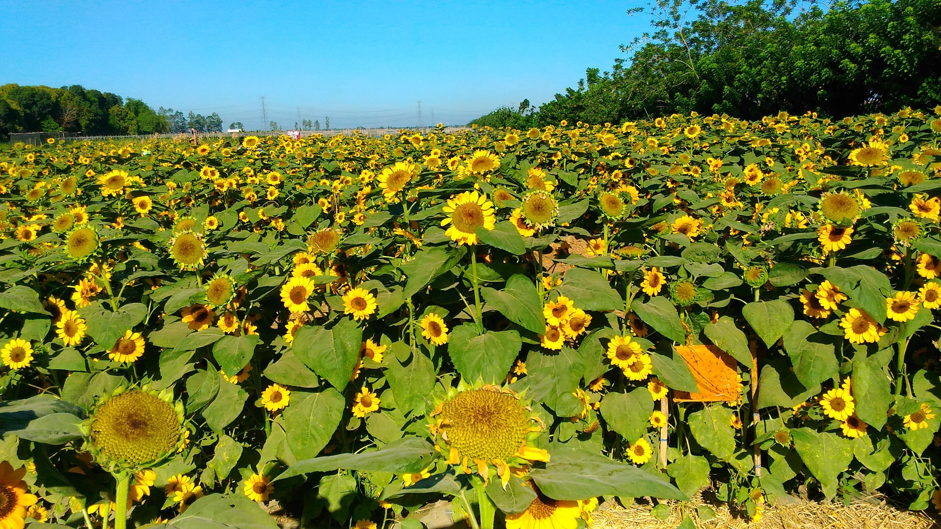 sunflower maze_2017_10