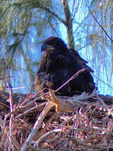 Bald Eaglet older 9 weeks of age 20170407