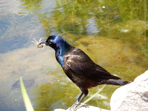Grackle | by susanvg