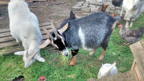 goats Mar 17 (18)