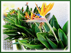 Strelitzia reginae [Crane Flower/Plant, Bird of Paradise, Bird of Paradise flower/plant, Crane-leaved Strelitzia] with its many beautiful flowers, 14 Aug 2014