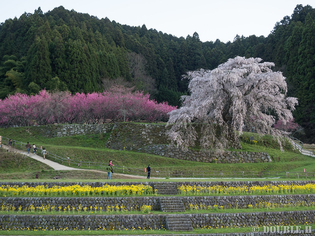 Matabei Zakura - huge weeping cheery tree (1)