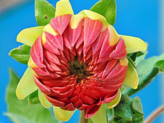 Nepal Flower
