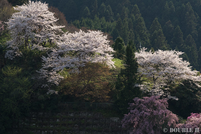 Sakura trees at west Yoshino area (10)