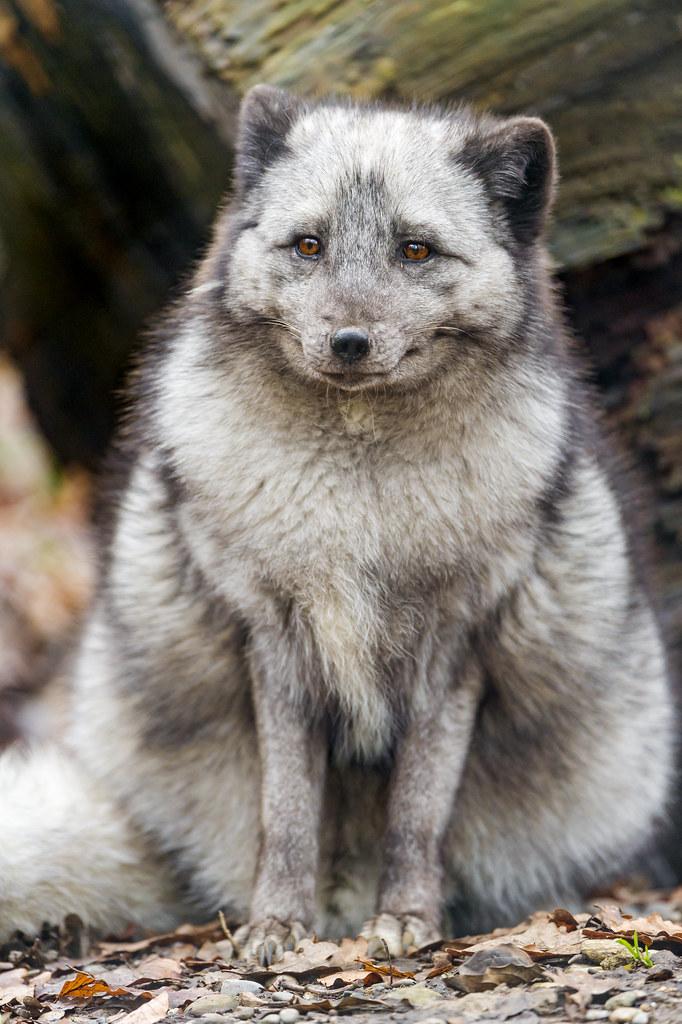 Sitting polar fox II