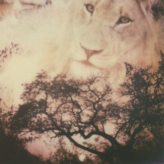 Africa Sunset + Lion + Instant Lab double exposure | by roostercoupon