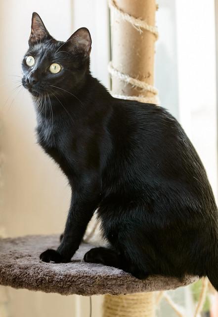 Selva, gatita Pantera guapa, estilizada y divertida esterilizada, nacida en Mayo´16, en adopción. Valencia. ADOPTADA. 32172562963_6e413dc2c0_z