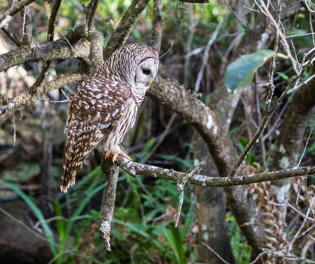 Barred Owl 091_2066