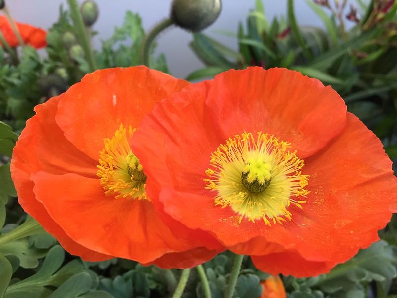 Papaver - Opium Poppy