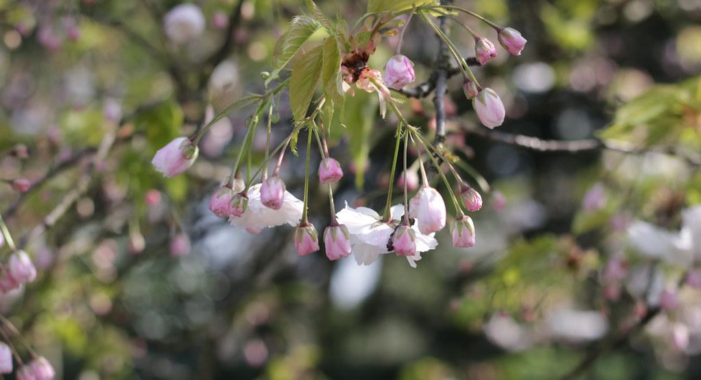 blossom in cambridge