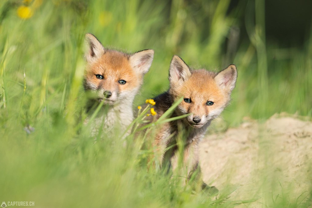Fox kittys 1 - Emmental