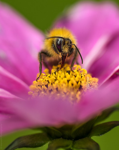 Mr Bumble // 31 05 14 | by Manadh