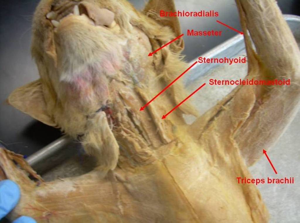 Cat Neck And Forelimb Muscles Labeled Anatomy Physiology Flickr