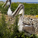 Two brown pelicans