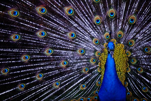 Peacock | by Wilson Severino