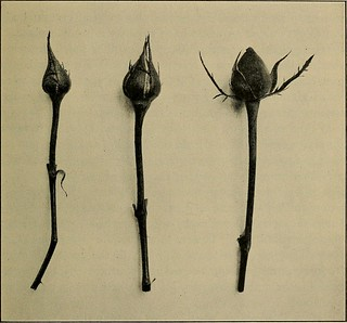 "Image from page 90 of ""Commercial rose culture under glass and outdoors; a practical guide to modern methods of growing the rose for market purposes"" (1919) 