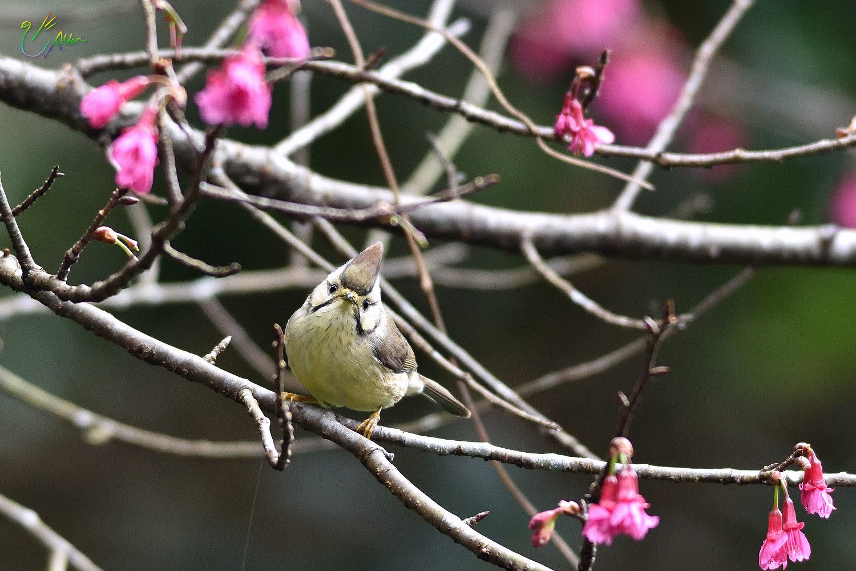 Taiwan_Yuhina_1561