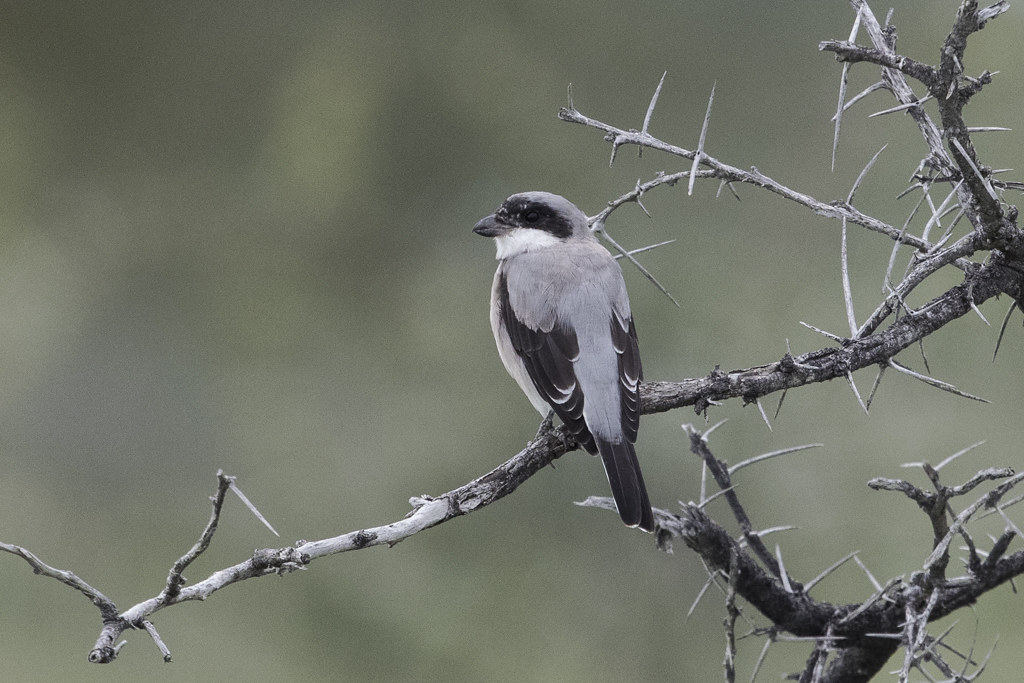 Lesser Grey Shrike      Lanius Minor