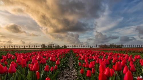 It is tulips season!