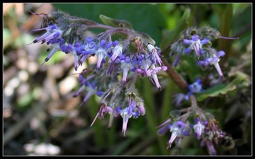 Trachystemon orientalis - bourrache du Caucase  33953980286_1ab4ba3e0b