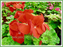 Orangy-red blossoms of Geranium (Cranesbills) with a spike of promising buds, 15 Aug 2014