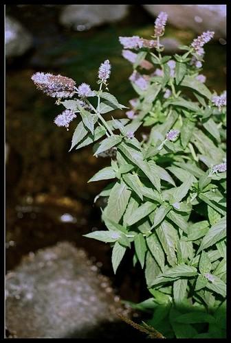 Mentha longifolia - menthe à feuille longue  34189862575_2a443eef73