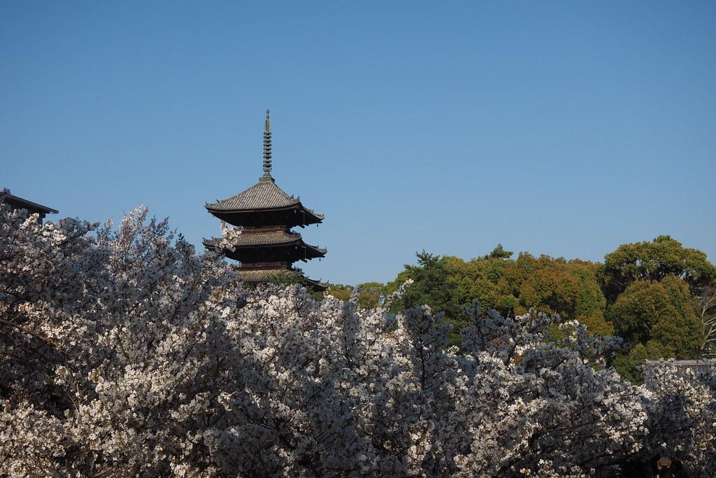 京都のお花見ポイント 仁和寺