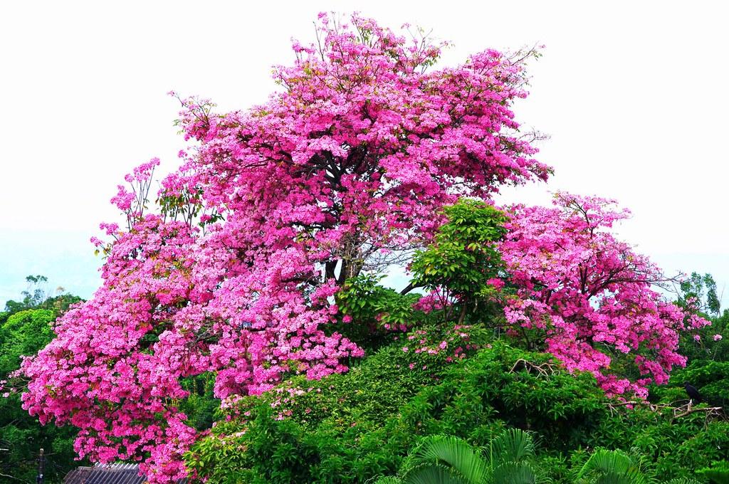 An ocobo tree of colombia dan steeves flickr for Arboles enanos para jardin