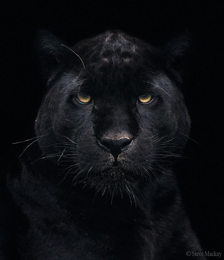 black jaguar a portrait of a captive melanistic jaguar steve