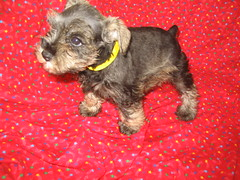yellow collar female 6 weeks