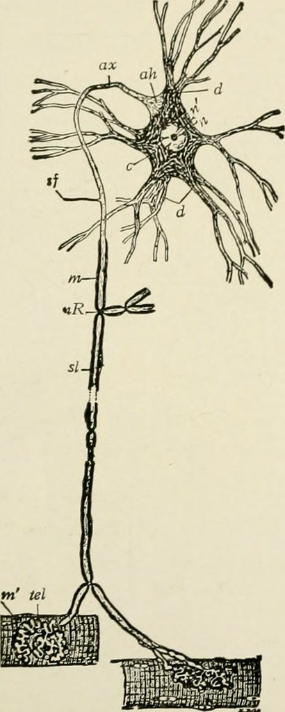 Image From Page 43 Of The Anatomy Of The Nervous System Flickr