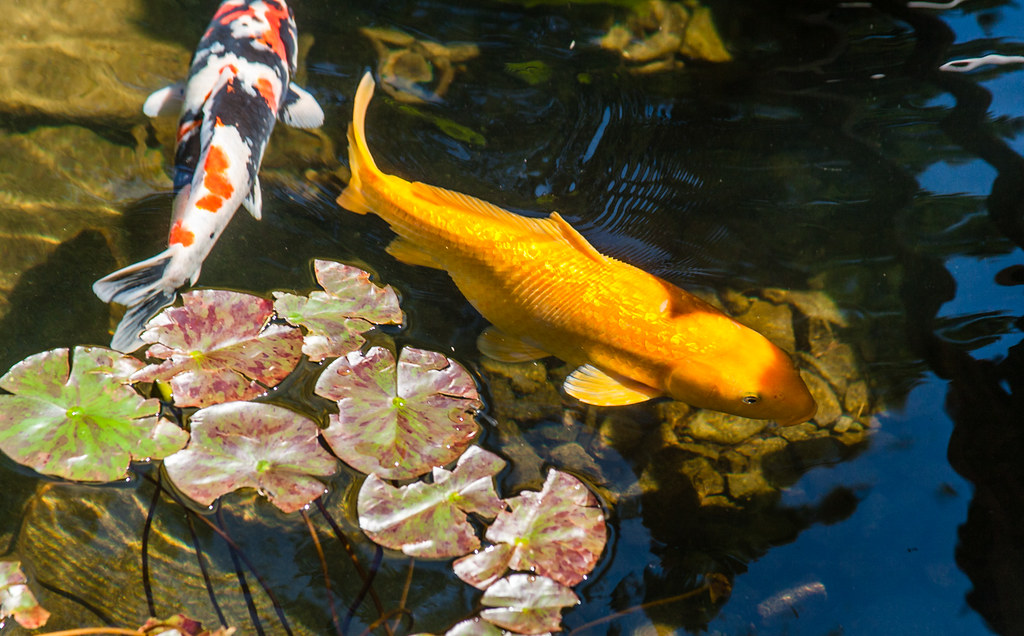Japanese garden the portland japanese garden is a for Portland japanese garden koi