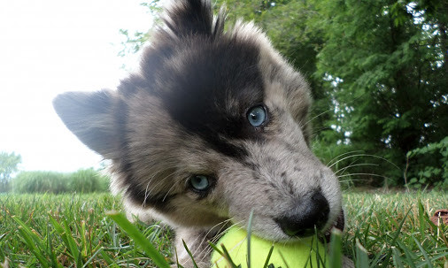 Pomsky Princess - August 04, 2014 at 09:37AM