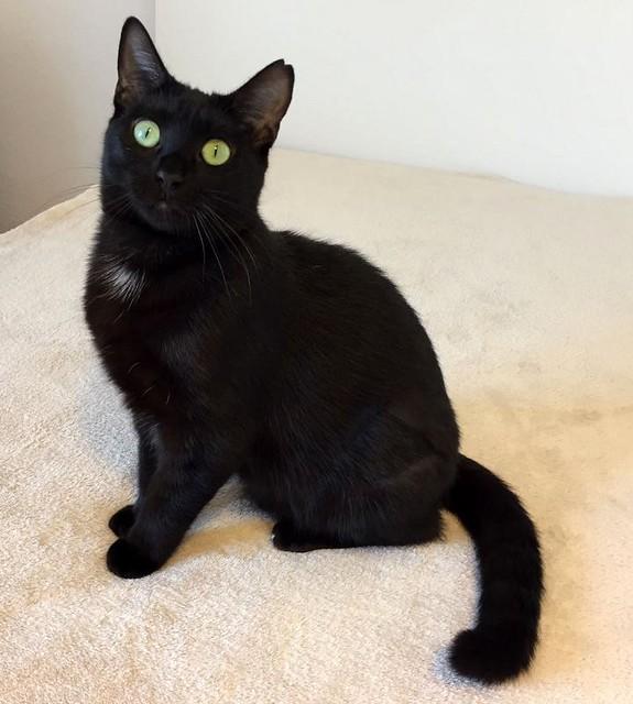 Morgana, gatita negra monísima, juguetona y tímida esterilizada, nacida en Julio´16, en adopción. Valencia. ADOPTADA. 32486903124_e865d2a888_z