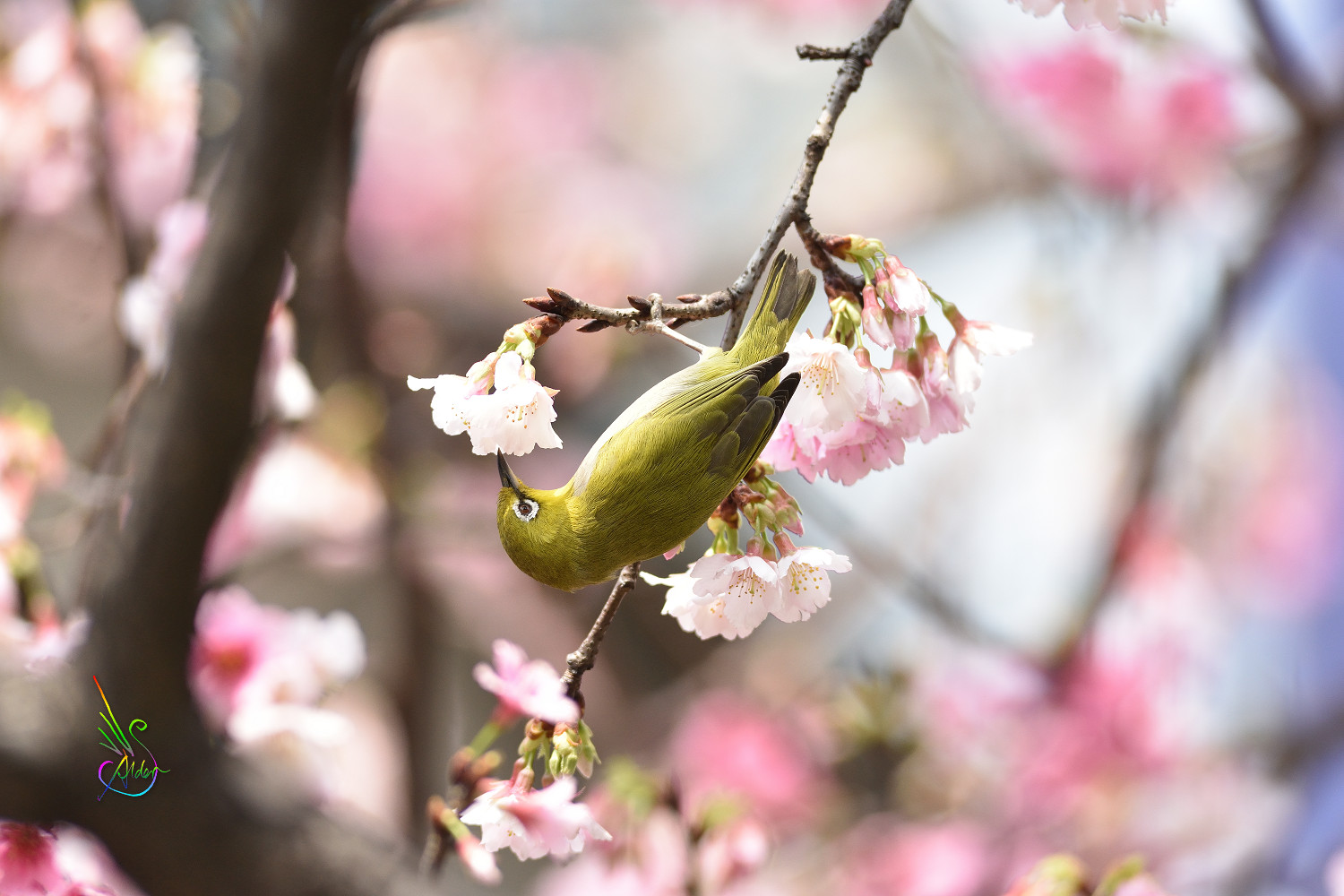 Sakura_White-eye_9617