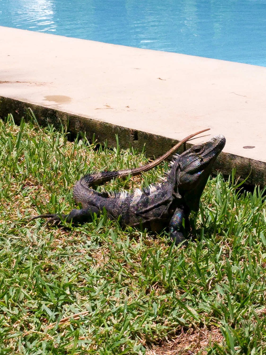 Reptile by the pool