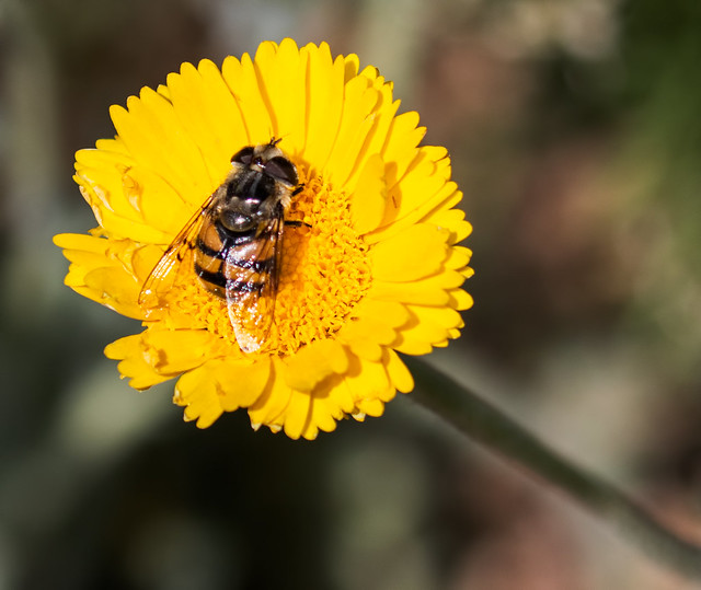 Bee-Flower-4-7D2-040517