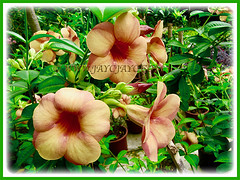 Showy flowers of Allamanda cathartica cv. Indonesia Sunset (Peach-coloured Allamanda), 22 Aug 2013