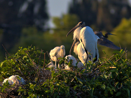 Wood Storks and nestlings 01-20170408