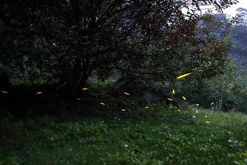 八仙山螢火蟲