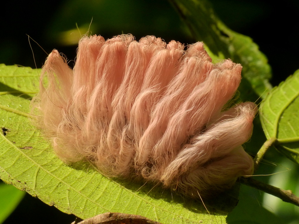 Stinging Flannel Moth Caterpillar, Megalopygidae | more ...