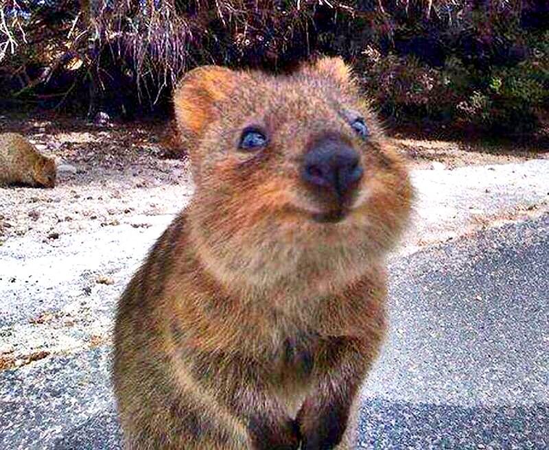 #quokka #australia #wa #happy #heisalwayshappy #wanthim #c ...
