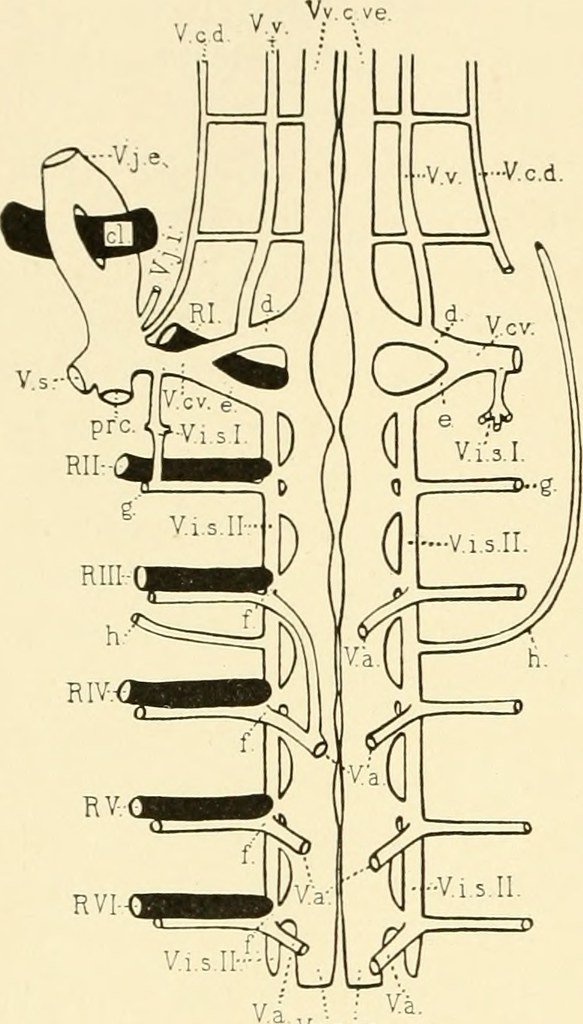 Image From Page 433 Of The American Journal Of Anatomy Flickr