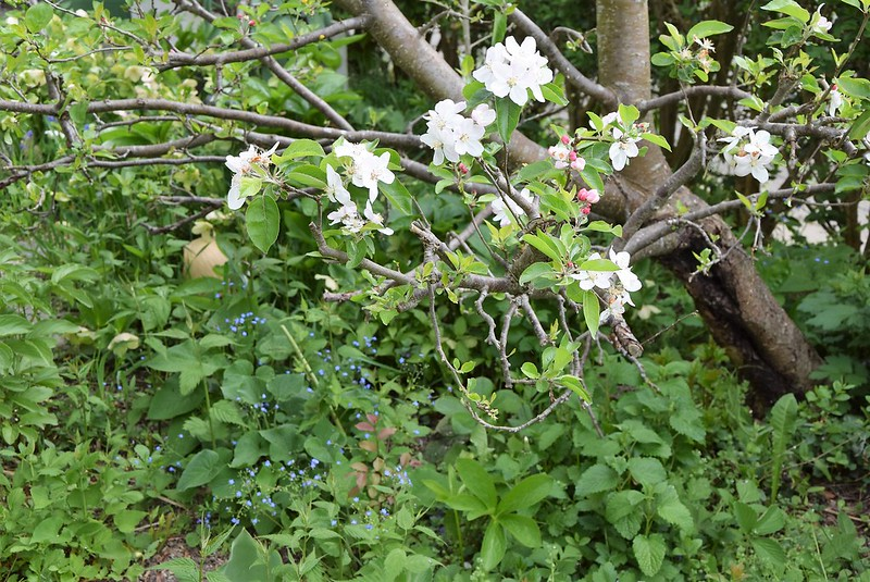 Apple Blossom 14.04 (3)