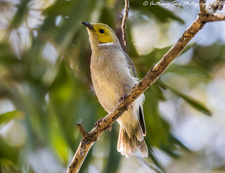 White-Plumed Honeyeater | by Anthony Say Photography
