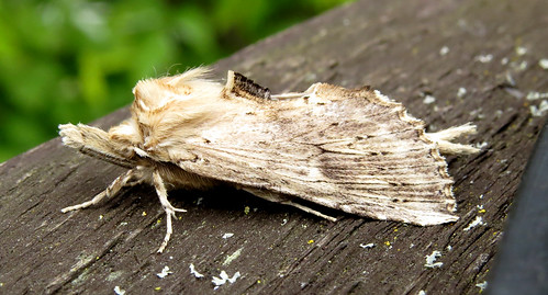 Pale Prominent Pterostoma palpina Tophill Low NR, East Yorkshire April 2017