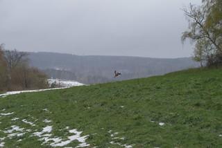 Running doe