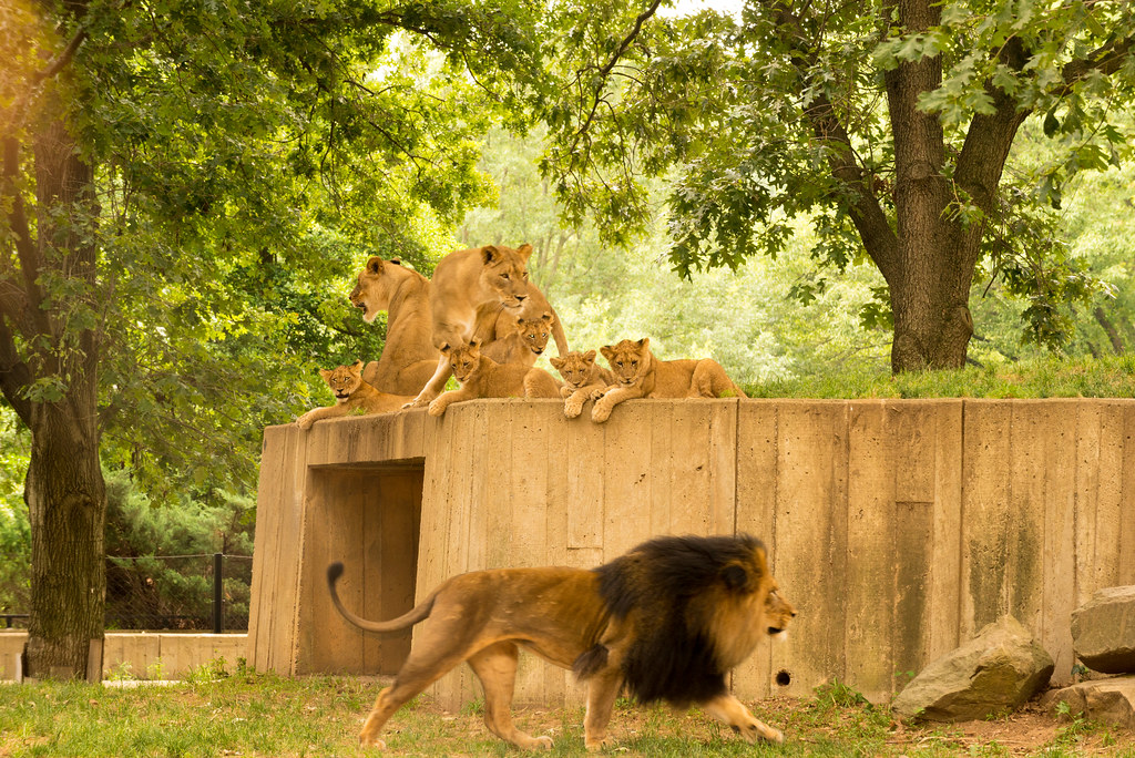Credit Report Com >> African Lion Cubs on Exhibit at the Smithsonian's National ...