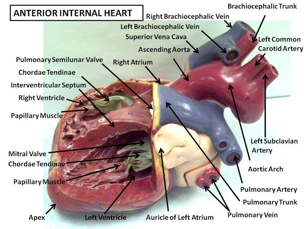 Anterior Internal Heart Anatomy Physiology Flickr