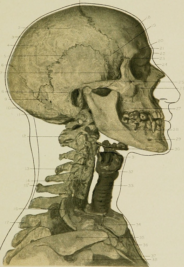 Image From Page 36 Of Regional Anatomy In Its Relation To Flickr